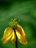 Flor amarilla que marchita. Foto de archivo libre de regalías