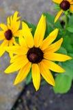 Flor amarilla, rudbeckia Foto de archivo