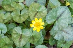 Flor amarilla salvaje en follaje verde Imagen de archivo