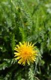 Flor amarilla soleada del diente de león Fotografía de archivo libre de regalías