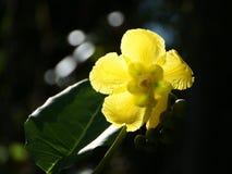 Flor amarilla translúcida del sol Suffruticosa del Dillenia Fotografía de archivo libre de regalías