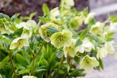 Flor amarilla verde del hellebore en flor Foto de archivo libre de regalías