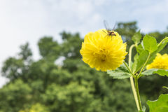 Flor amarilla y alimentación apícola de la dalia Imagenes de archivo