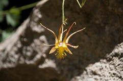 Flor amarilla y anaranjada de la aguileña Fotos de archivo