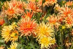 Flor amarilla y anaranjada de la dalia en jardín Fotos de archivo