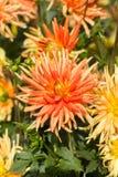 Flor amarilla y anaranjada de la dalia en jardín Foto de archivo libre de regalías