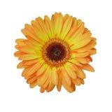 Flor amarilla y anaranjada en blanco aislado Fotos de archivo