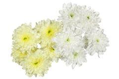 Flor amarilla y blanca de los crisantemos Foto de archivo