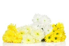 Flor amarilla y blanca de los crisantemos Fotos de archivo