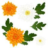 Flor amarilla y blanca del crisantemo Ilustración del vector Aislado en el fondo blanco Imagen de archivo libre de regalías