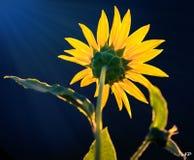 Flor amarilla y cielo azul en luz del sol imagenes de archivo
