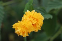 Flor amarilla y hojas verdes de un jardín en la ciudad de Chernomorets Bulgaria Fotos de archivo