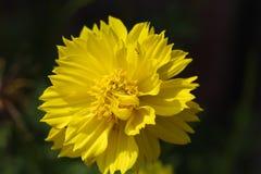 Flor amarilla y pétalo hermoso imágenes de archivo libres de regalías