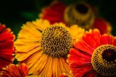 Flor amarilla y roja Foto de archivo libre de regalías