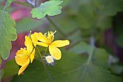 Flor amarilla y su poder Imagenes de archivo