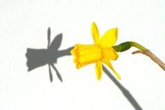 Flor amarilla y su sombra Foto de archivo libre de regalías