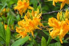 Flor amarilla y una abeja Fotografía de archivo