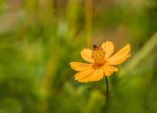 Flor amarilla y una abeja Foto de archivo libre de regalías