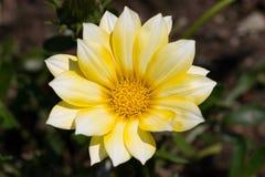 Flor amarillo Foto de archivo libre de regalías