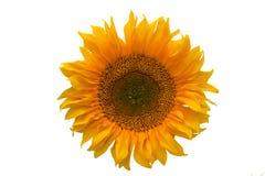Flor amarillo aislado del girasol en el fondo blanco Fotos de archivo libres de regalías