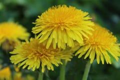 Flor amarillo brillante del diente de león Fotos de archivo libres de regalías