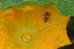 Flor amarillo de la calabaza de la calabaza de la abeja Fotos de archivo