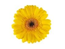 Flor amarillo de la margarita del gerber aislado en blanco Fotografía de archivo