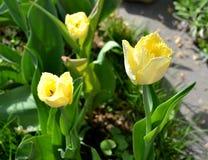 Flor amarillo de los tulipanes en primavera Imagen de archivo