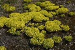 Flor amarillo del acre de Sedum imagen de archivo
