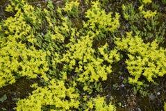 Flor amarillo del acre de Sedum fotos de archivo libres de regalías