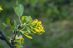 Flor amarillo del bérbero Foto de archivo