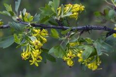 Flor amarillo del bérbero Fotografía de archivo