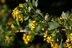 Flor amarillo del bérbero Fotografía de archivo libre de regalías