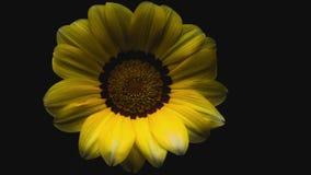 Flor amarillo del lapso de tiempo del pétalo de la flor almacen de metraje de vídeo