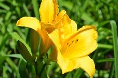 Flor amarillo del lirio en el jardín Fotos de archivo