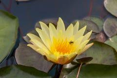 Flor amarillo del loto en el agua Fotos de archivo libres de regalías