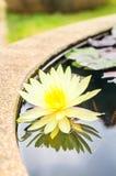 Flor amarillo del loto en la charca Imagen de archivo