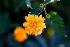 Flor amarillo del ranúnculo imágenes de archivo libres de regalías