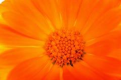 Flor amarillo-naranja de la margarita Imagen de archivo