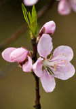 A flor & os botões do pêssego Foto de Stock