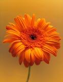 Flor anaranjada Imágenes de archivo libres de regalías