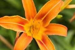 Flor anaranjada Fotografía de archivo