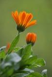 Flor anaranjada. Imagen de archivo libre de regalías