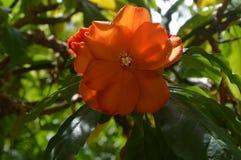 Flor anaranjada Foto de archivo