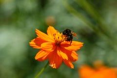 Flor anaranjada, amarilla del campo con una abeja Fotos de archivo libres de regalías