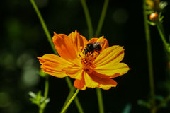 Flor anaranjada, amarilla del campo con una abeja Fotografía de archivo libre de regalías