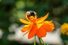 Flor anaranjada, amarilla del campo con una abeja Foto de archivo