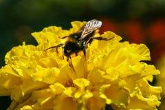 Flor anaranjada, amarilla del campo con una abeja Fotografía de archivo