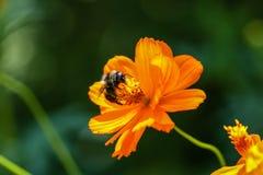 Flor anaranjada, amarilla del campo con una abeja Fotos de archivo