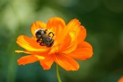 Flor anaranjada, amarilla del campo con una abeja Imagen de archivo libre de regalías